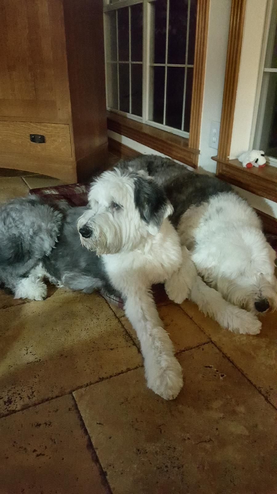 Shelby And Winston Holding Hands Old English Sheepdog English