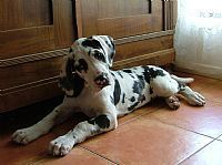 Great Dane Puppies For Sale From Great Dane Breeders Australia