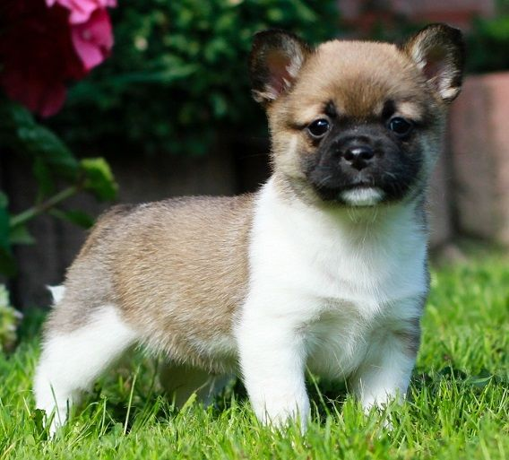 Pug And Shiba Inu What A Lovely Combination Pug Mixed Breeds