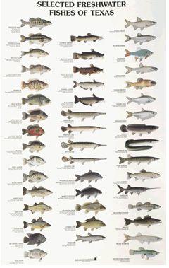 Saltwater Fish Identification Texas