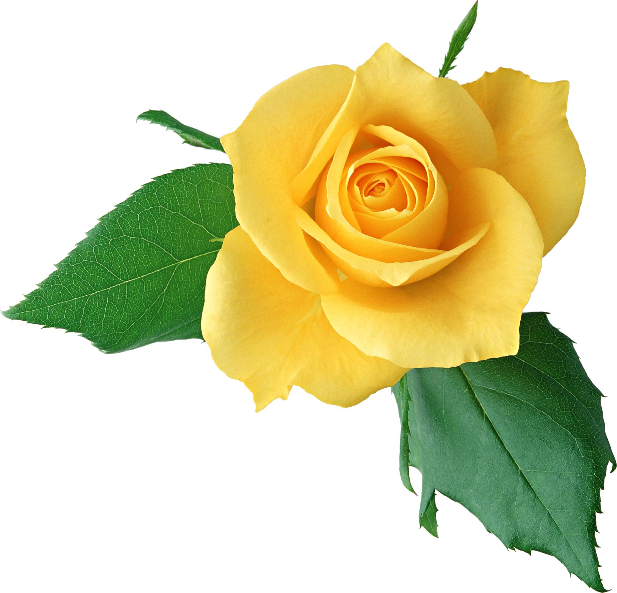 Afficher l'image d'origine Yellow roses, Planting tulips