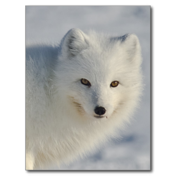 Arctic Fox, Barrow, Alaska This photo is cropted quite a bit. I wasn't that close to the arctic fox. In this photo he is watching us closely. because he was working on something inside a dig made by a polar bear and even we could smell the whale oil coming out from the dig. there is a piece on his mouth from the leftovers. Location was point barrow. Around six miles from Barrow villages leave the leftovers of whales they hunted to distract polar bears from coming in to the village.. | Nil…