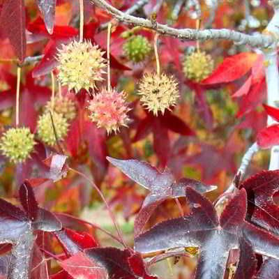Worplesdon Sweet Gum Tree Seeds 15 Count Sweetgum Worplesdon 15 7 99 Downright Natural All Organic All The Time Tree Seeds Sweet Gum Plants