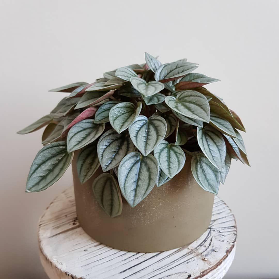 Peperomia Napoli Nights Do You Know About Napoli Nights I Haven T Gone Napoli So I Don T Know About That Nights House Plants Cool Plants Peperomia