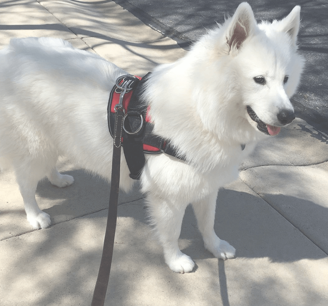 804 All 4 Of My Dogs Love This Harness Not Exaggerating When I Say This Is The Best Dog Harness I Ve Ever Used In 2020 Dog Harness Dog Mommy Dogs