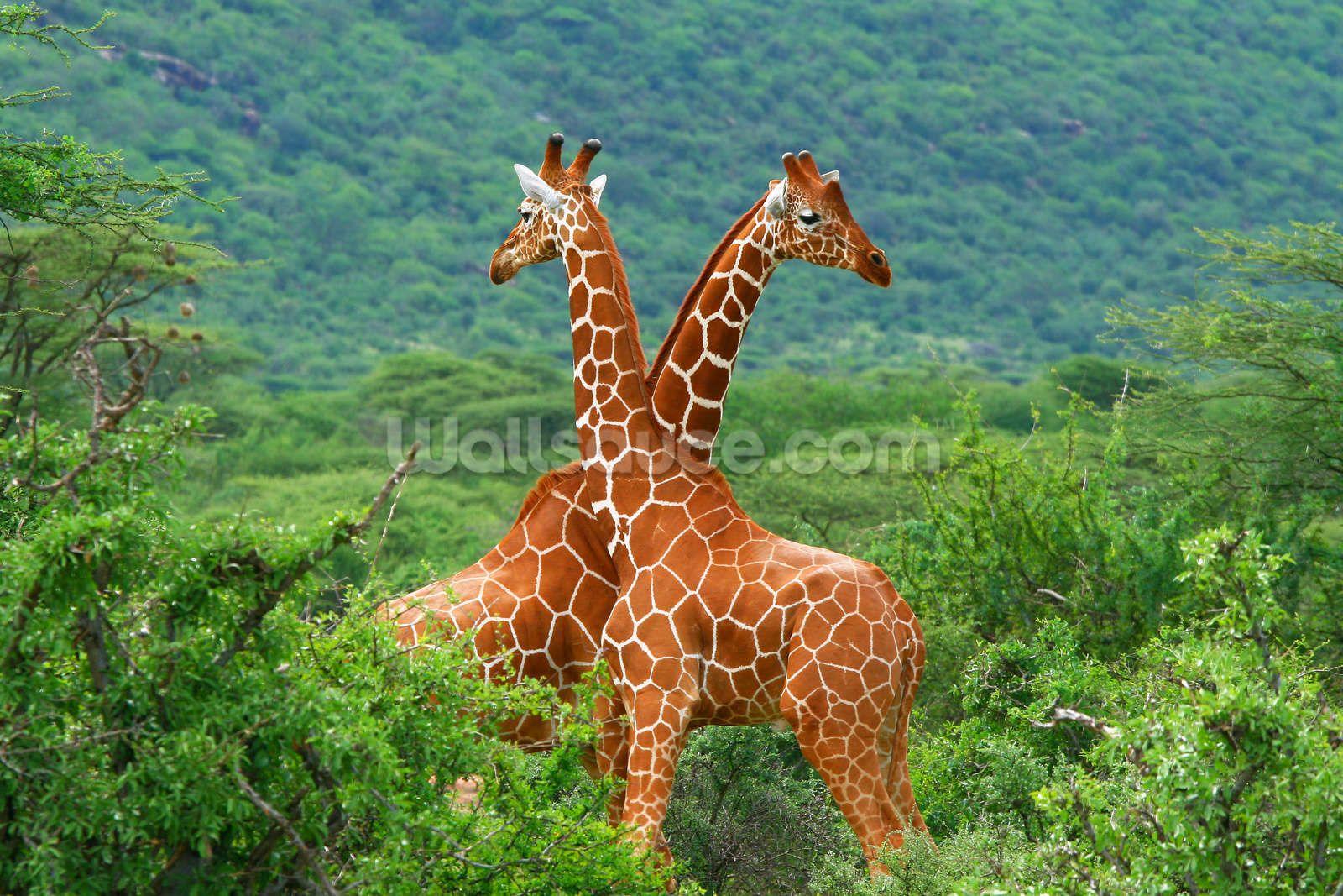 Giraffe Fight Wallpaper Wallsauce Us In 2021 Animals Wild Giraffe Pictures Nature Animals