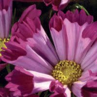 COSMOS of COSMEA - COSMOS bipinnatus SEASHELLS RED