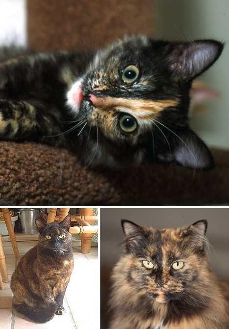 Twisted Sisters Amazing Tortoiseshell Cats & Kittens