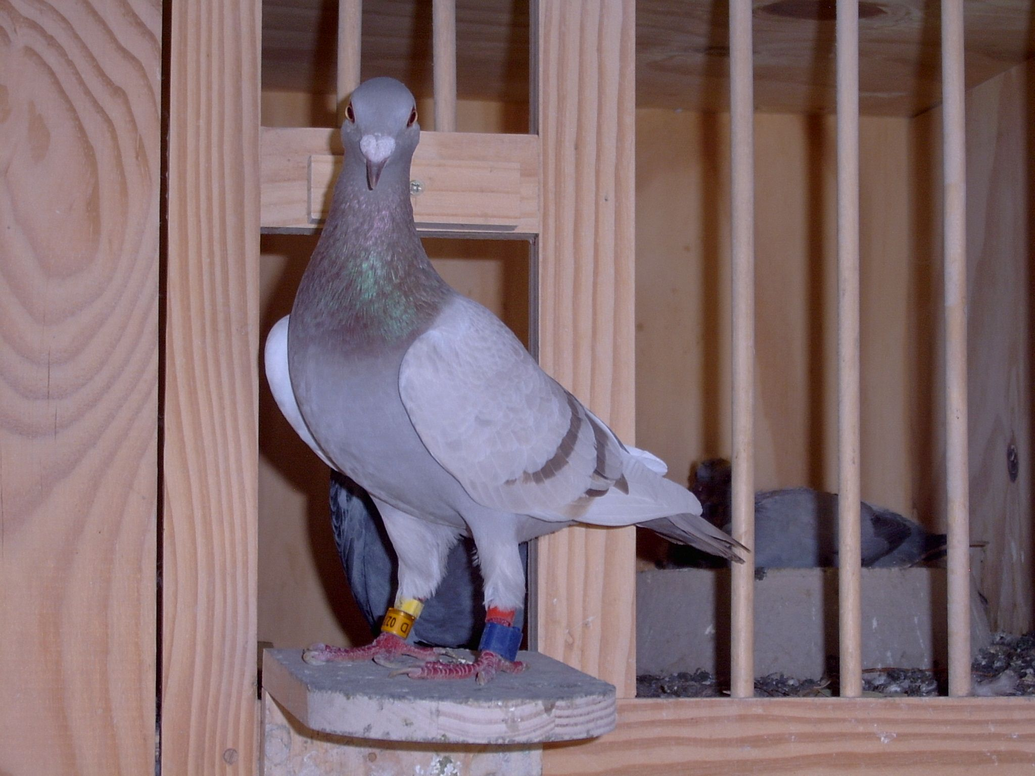 This is one of the racing pigeons of Ian Adriaanse from Paarl, South Africa. Visit www.pigeoninflight.com for more about pigeon racing.
