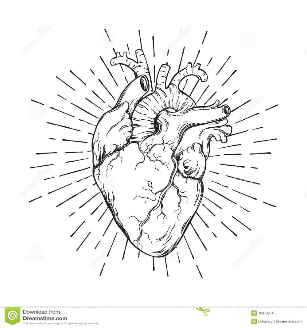 Hand Drawn Human Heart With Sunburst Anatomically Correct Art Flash Tattoo Or Print Design Vector Illust Anatomical Heart Art Human Heart Drawing Heart Tattoo