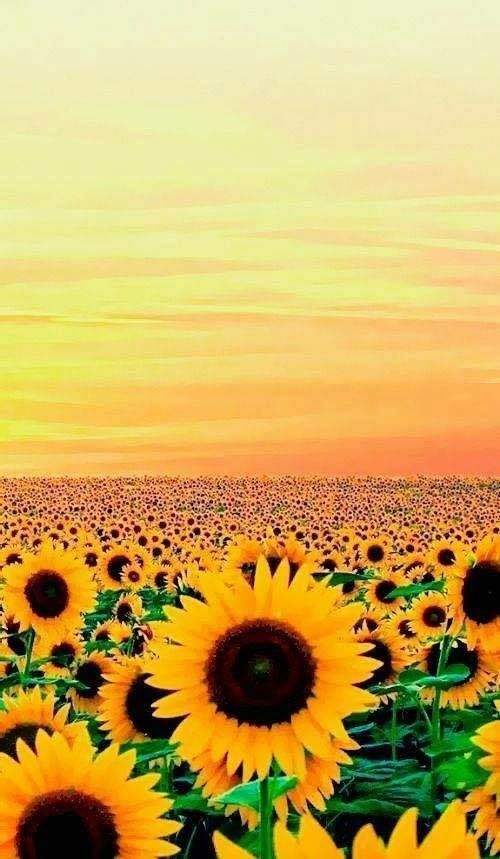 Pin By Twilla On Girly Wallpapers Sunflower Wallpaper