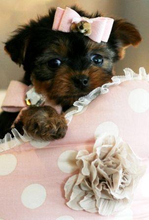 Jackie A Teacup Yorkie Puppy For Sale Teacup Puppy Dog Yorkie Forsale Cute Yorkie Puppy Yorkie Dogs Yorkie
