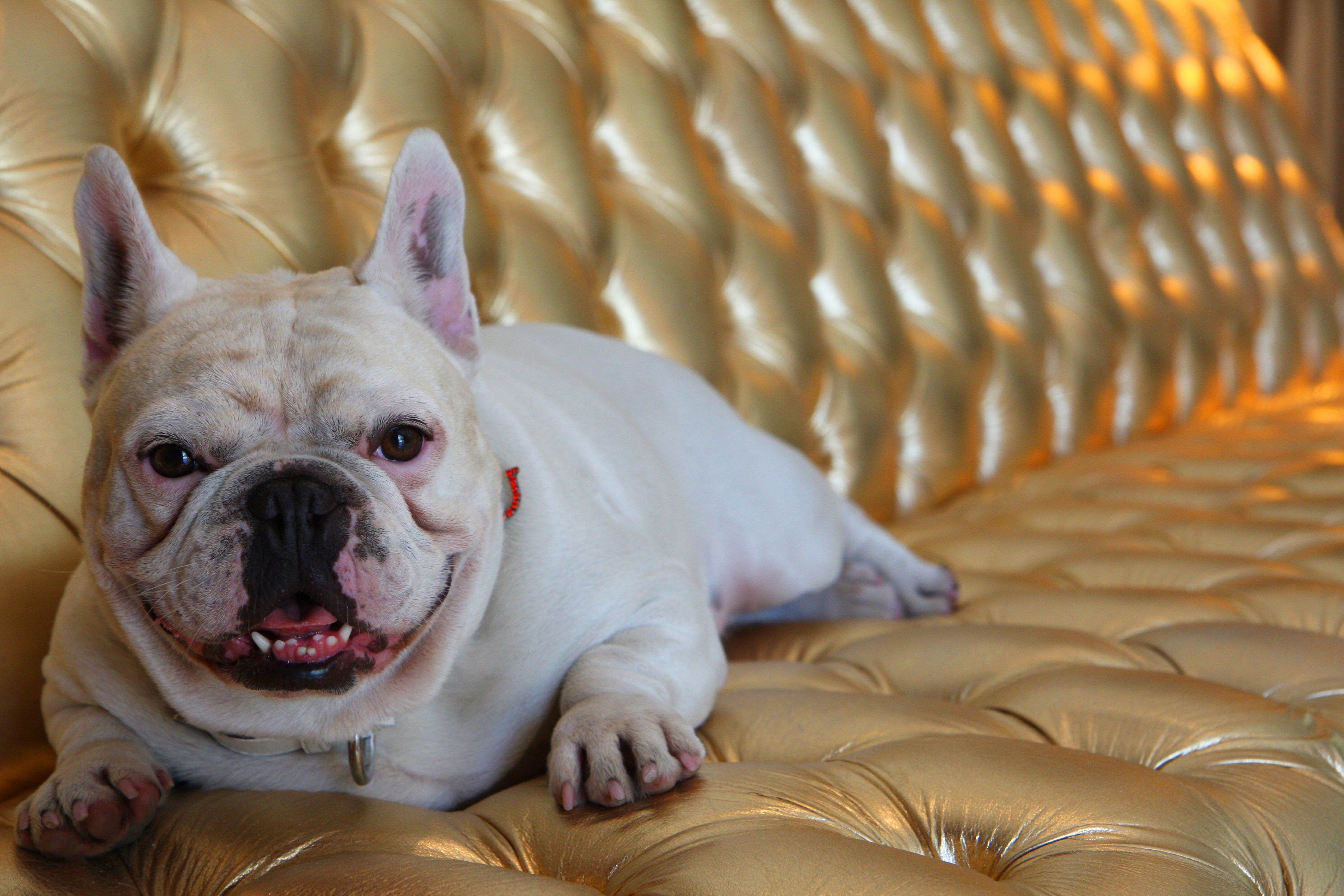 Frenchie Winery Goes To The Dogs French Bulldog Puppies Wine