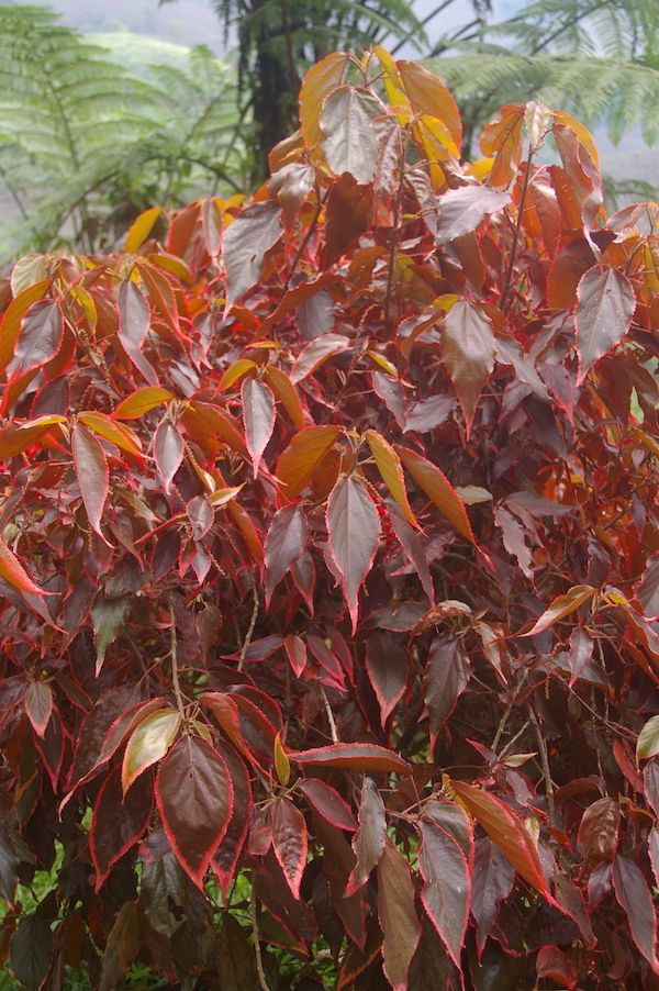 Acalypha Marginata Is Probably The Most Cultivated Of The