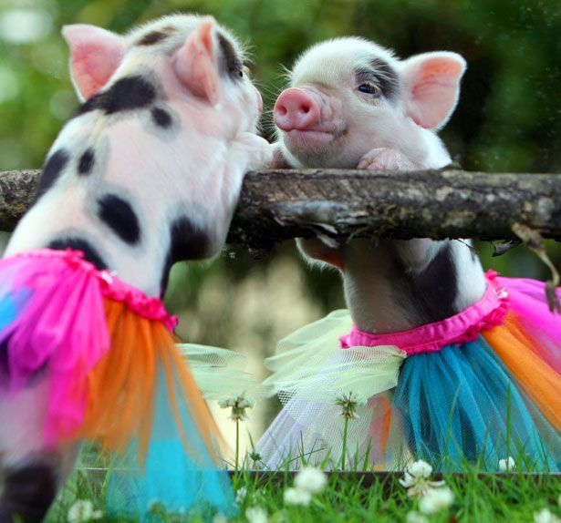 If only Tony would get me a mini pig instead of all the big ones!!
