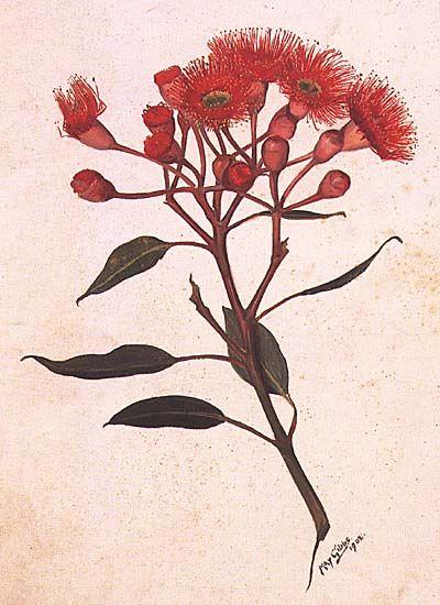 Eucalyptus Ficifolia Red Flowering Gum Artist May Gibbs 1877 1969 Botanical Illustration Botanical Drawings Botanical Art