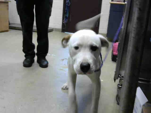 American Pit Bull Terrier Dog For Adoption In Fayetteville Nc