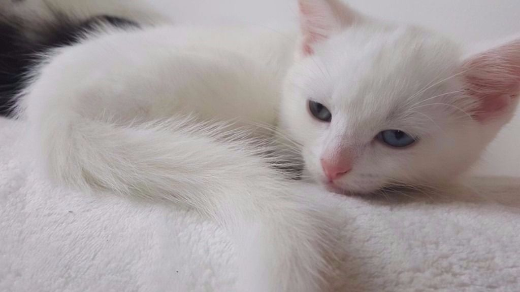 2 White Kittens Both Odd Eyed Edinburgh 150 Per Kitten Cosas