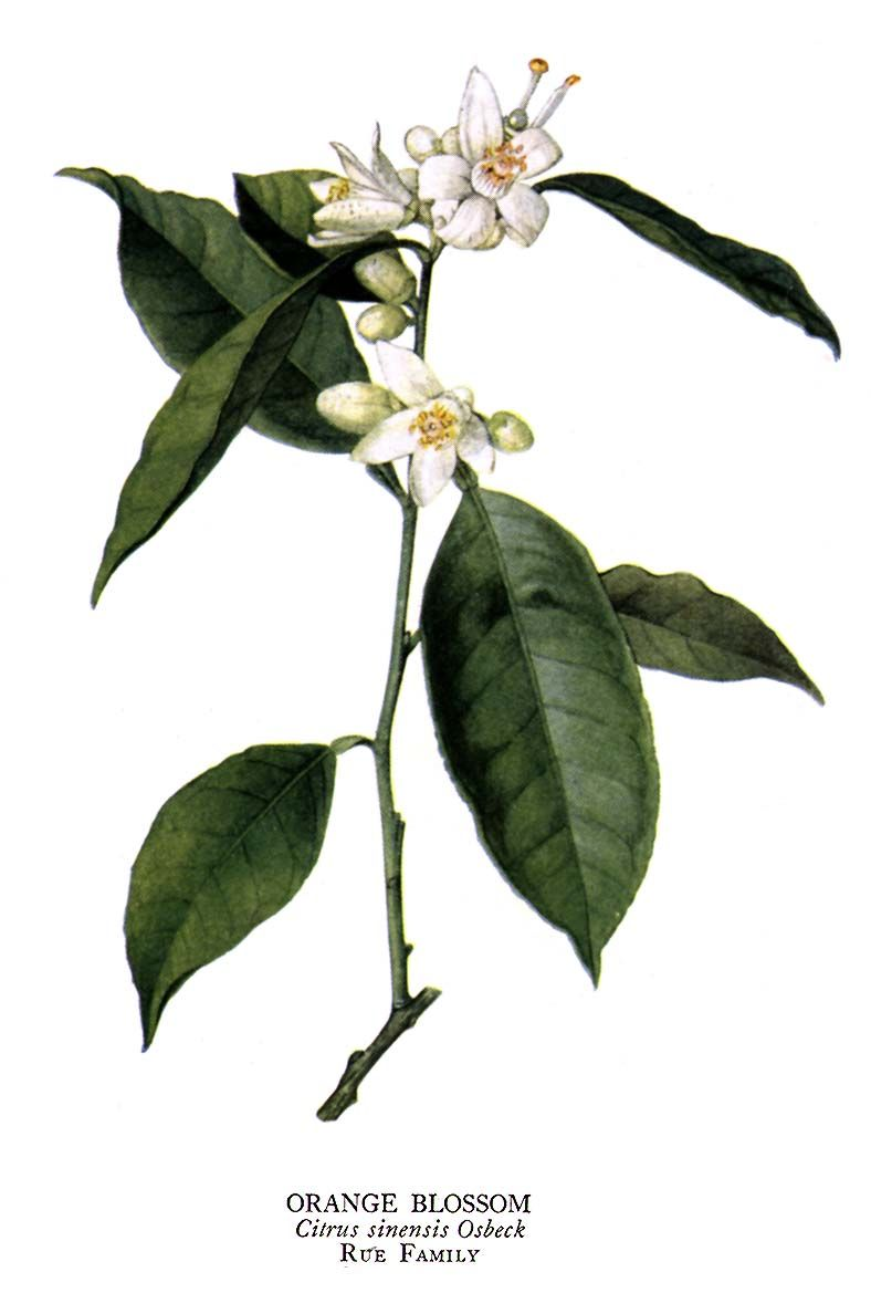 History Of Orange Blossoms Used In Weddings