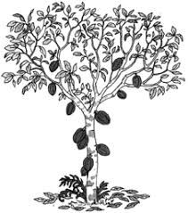 Resultado De Imagen Para Planta Del Cacao Dibujo Cacao