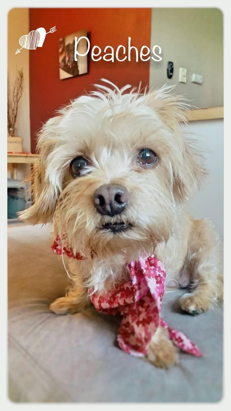 Adopt Peaches On Dogs For Adoption Cairn Terrier Terrier