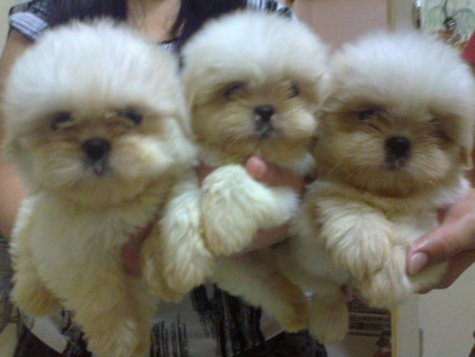 White Shih Tzu Puppies Quezon City For Sale In Quezon City