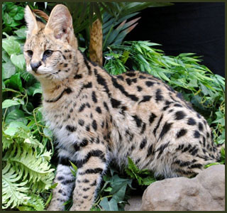 F1 F2 F3 F4 F5 Savannah Cats For Sale Kitten Breeders Tx Majestic Savannahs Savannah Kitten Savannah Cat F5 Savannah Cat