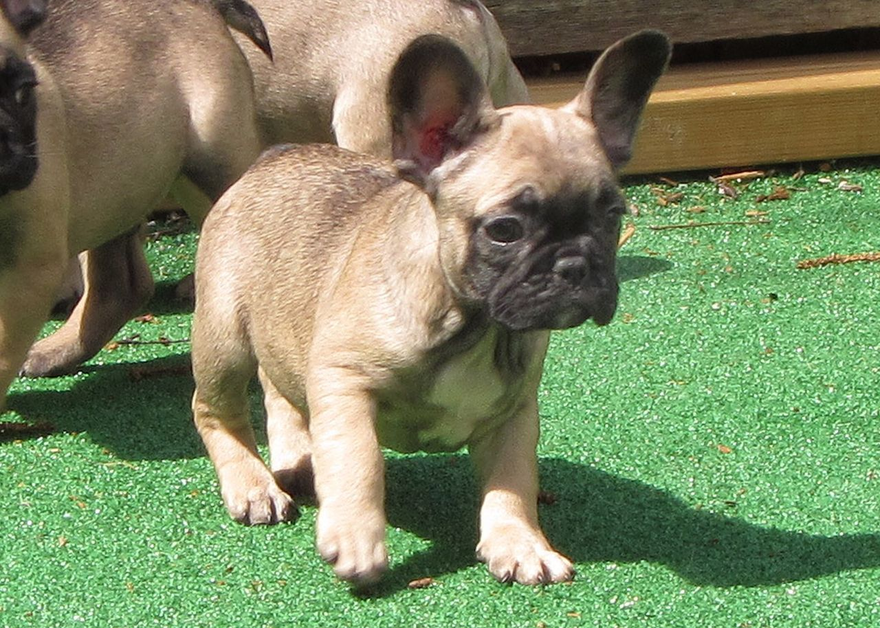 French Bulldog Colors Bulldog breeds, Bulldog puppies