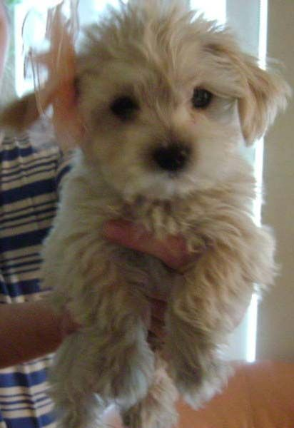 This Is A Morkie I Wanted To Buy Morkie Baby Animals Doggy