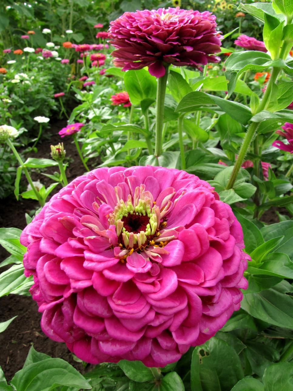 15 Huge Flowers Gardening And Landscaping Pinterest Flowers