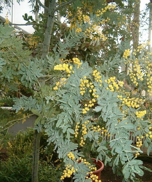 Acacia Baileyana Fern Leaf Acacia Bailey Acacia Flora Y Fauna