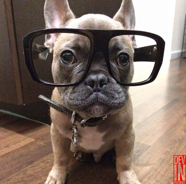French Bulldog Puppy In Ginormous A Hipster Glasses