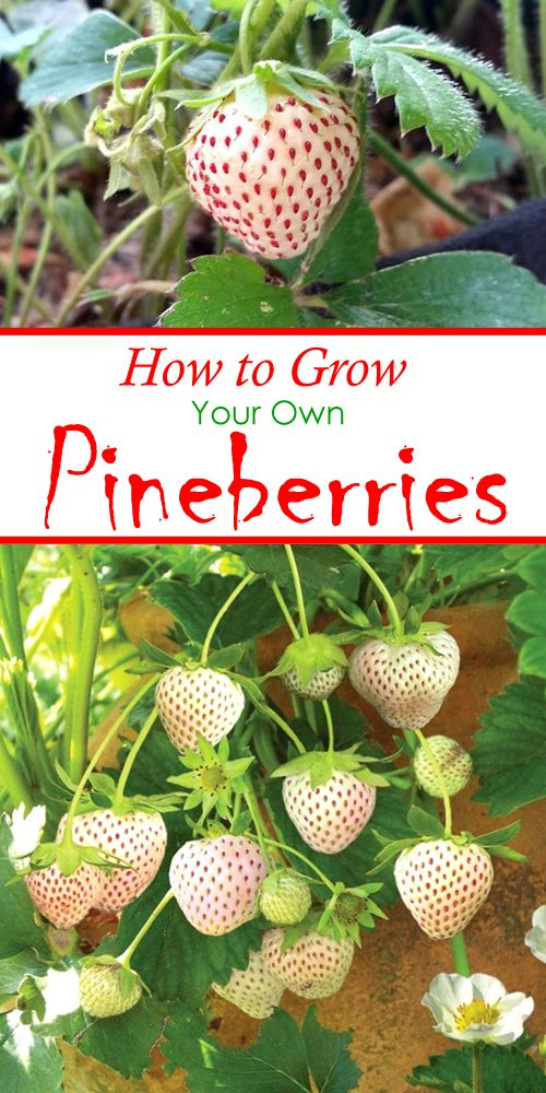 How to Grow Pineberries, The Most Expensive Strawberry In The World ...
