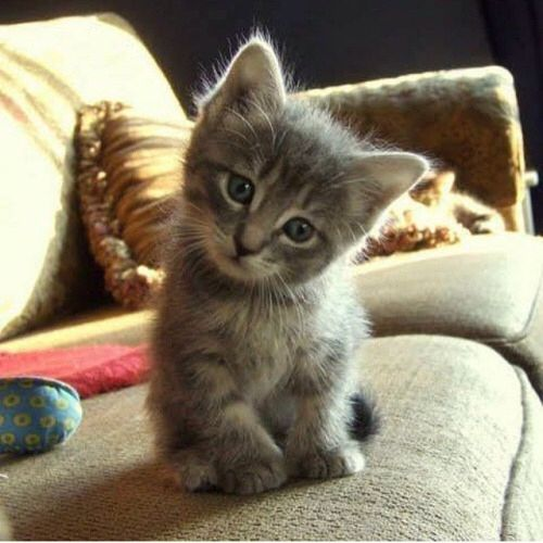 Gorgeous little sweetheart kittens pinterest - Petit chaton tout mignon ...