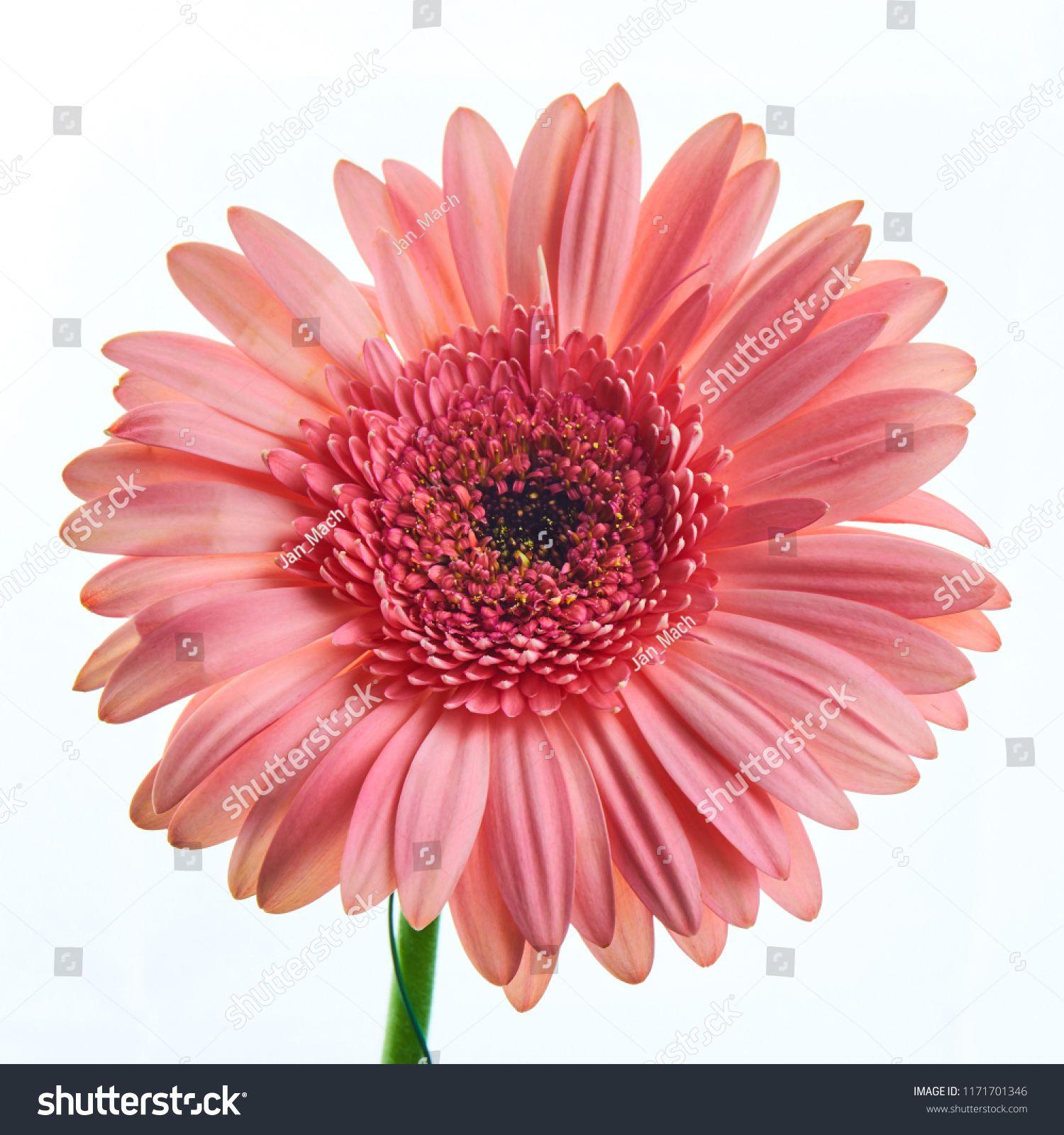 Beautiful Pink Gerbera Flower On White Background Gerbera Flower Pink Gerbera