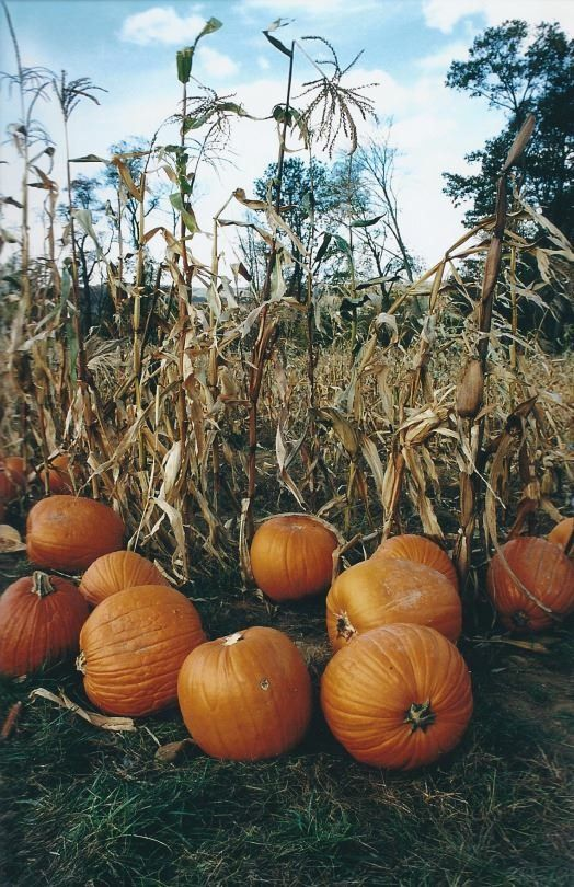 Pumpkins In Corn Field Pictures Photos And Images For