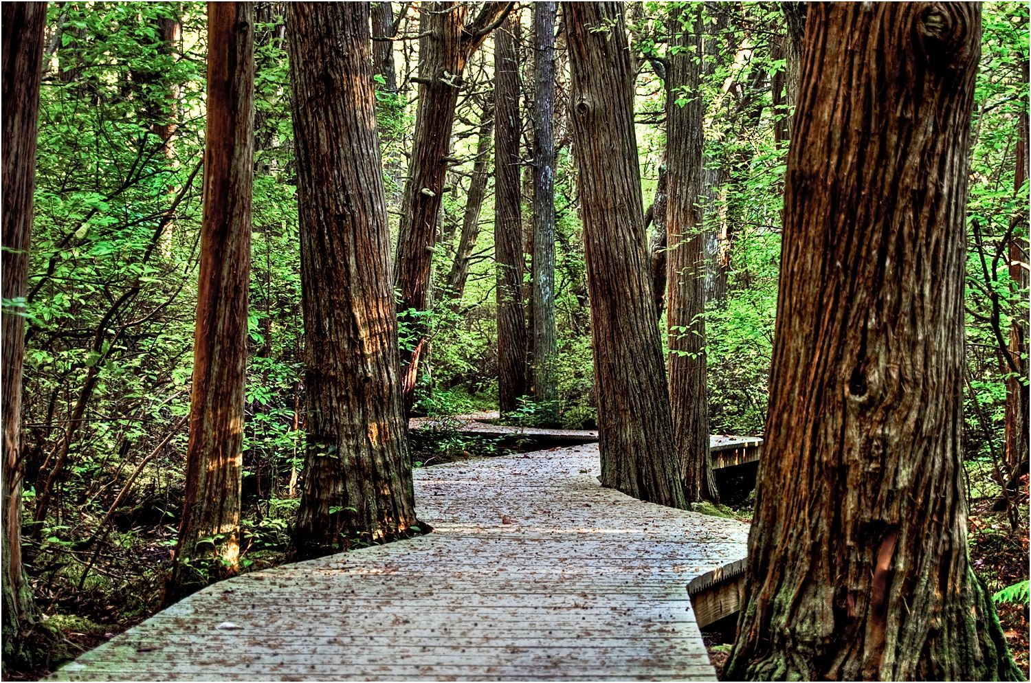 A walking path in the atlantic white cedar swamp