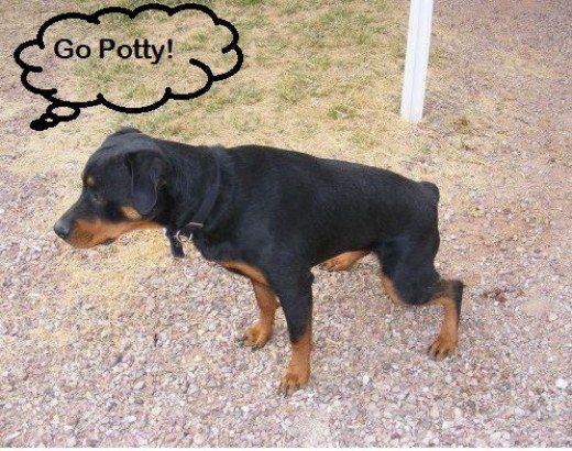 How To Train A Dog To Go Potty On Command Dog Urine Dogs Dog Uti