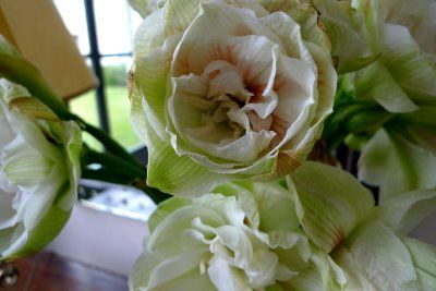 French Essence A Is For Amaryllis Amaryllis Flowers Flower Essences Amaryllis