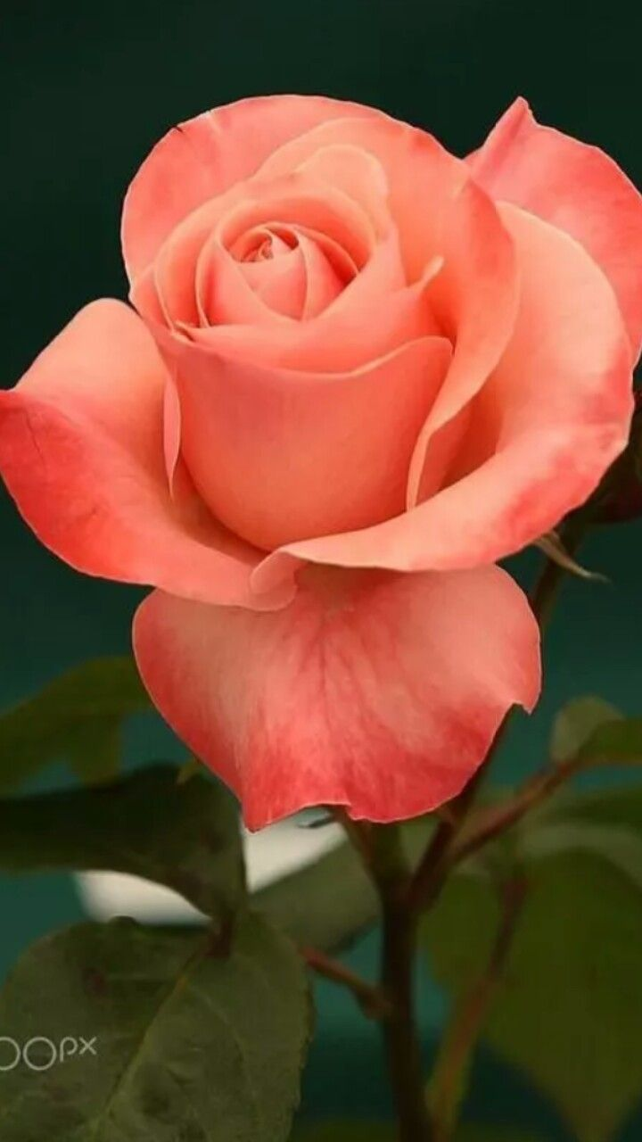 Pin By Frida Bibi On Solo Rosas Pinterest Rose Flowers And Flower