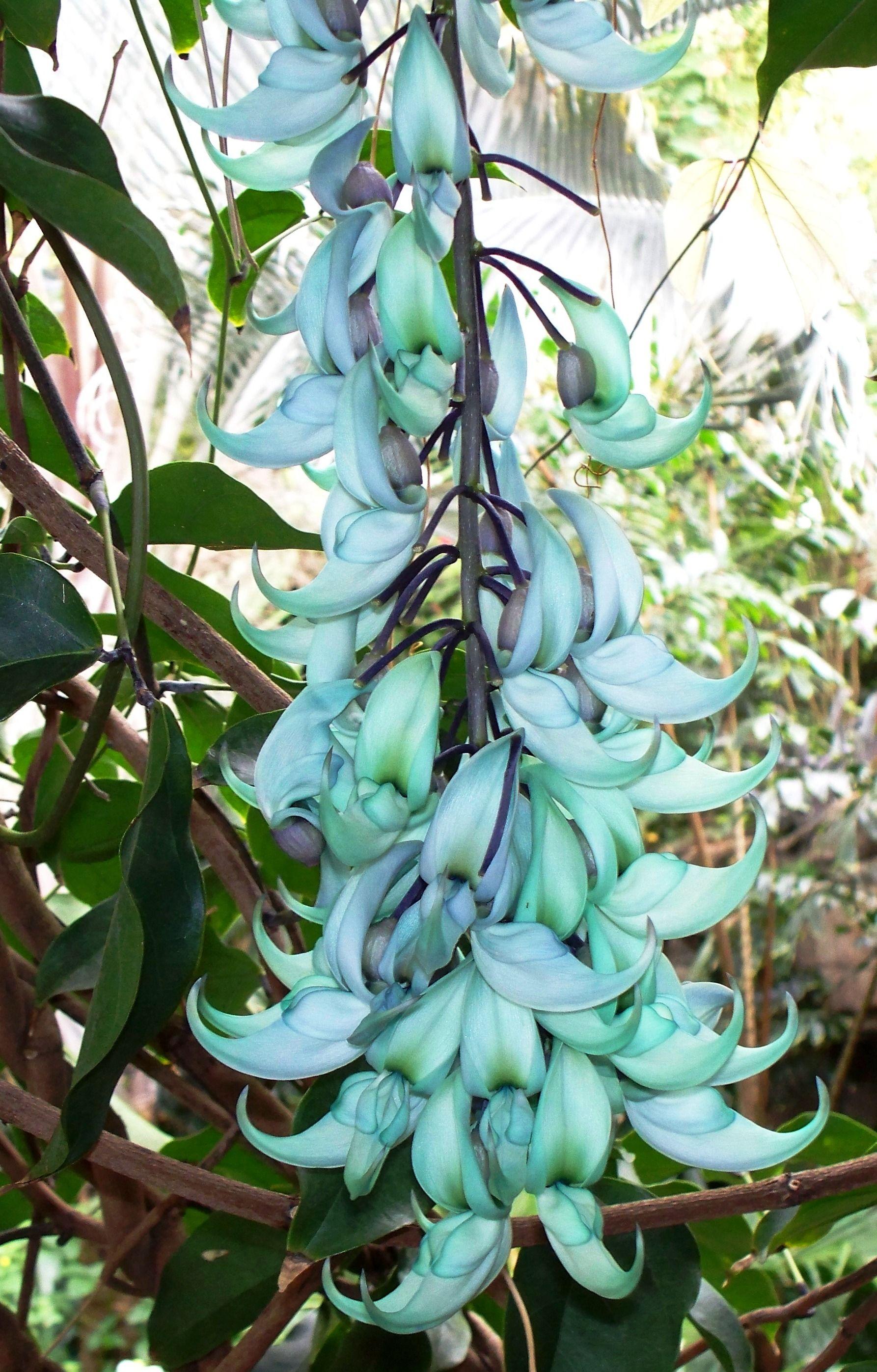 Strongylodon macrobotrys   BEAUTIFUL PLANTS & BIRDS   Pinterest ...