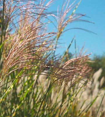 Best Ornamental Grasses For Midwest Gardens Ornamental