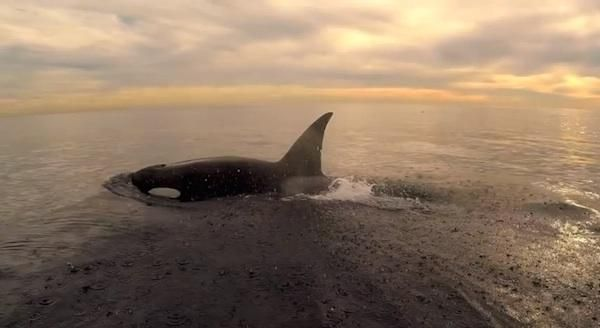 Video: Frolicking Orcas Make Magical Ride for... | Native American News