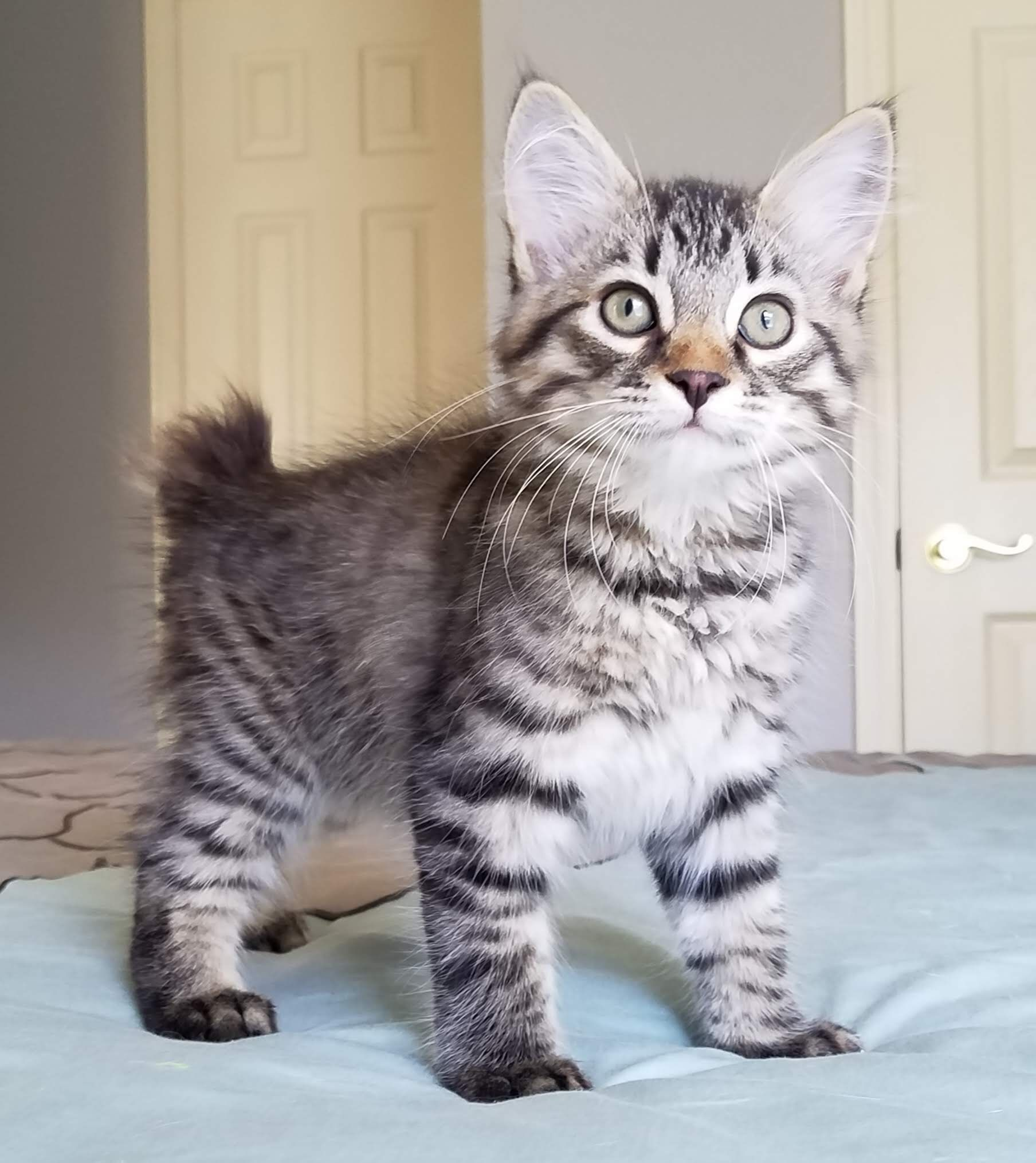 Adopt Bobby On Petfinder American Bobtail Cat Cat Adoption Bobtail Cat