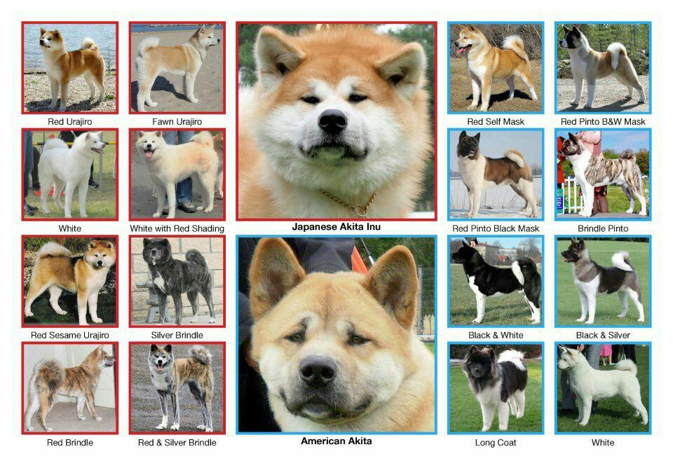 Akita Vs Japanese Akita Inu Two Breeds Respect Their Differences Akita Dog American Akita Japanese Akita