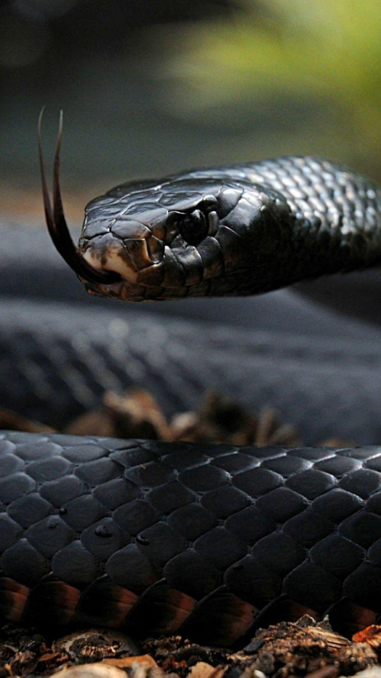 Black Snake Wallpapers Group Snake Wallpaper Snake Images Snake