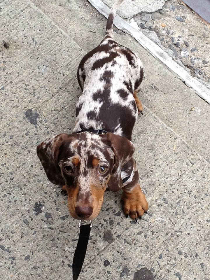 Chocolate Tan Dapple Doxie By The Look Of Those Paws This Pup