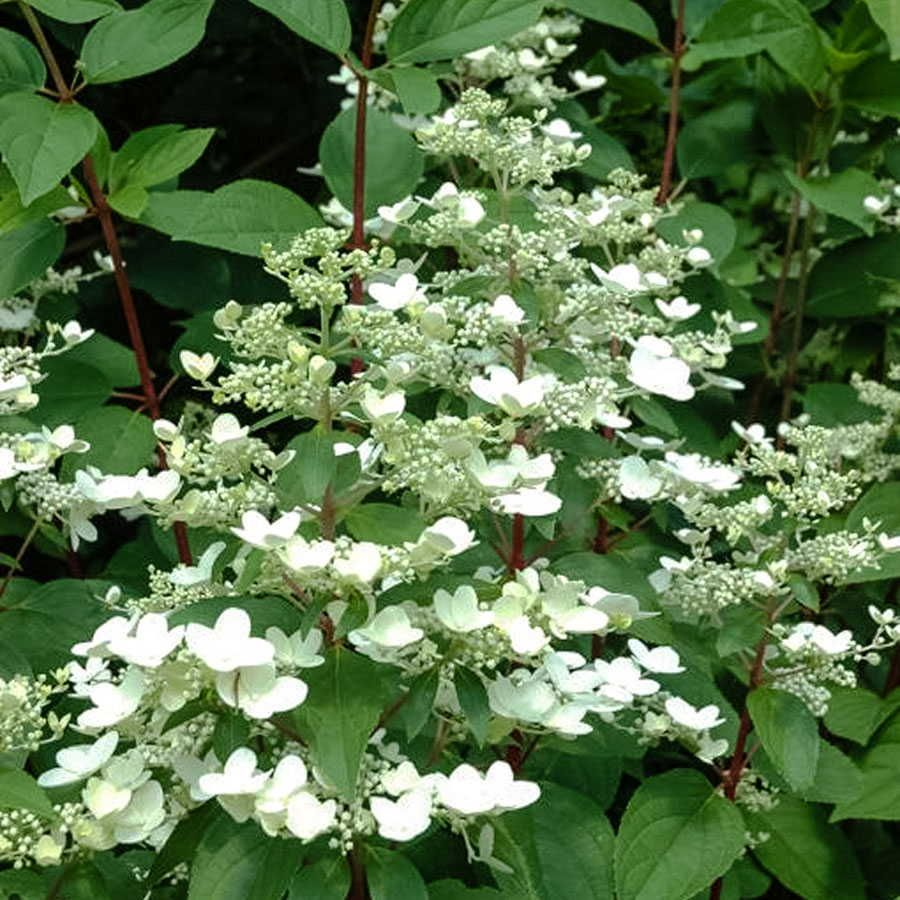 Hydrangea Fire And Ice White Flowers Garden White Flowering Plants Trees To Plant
