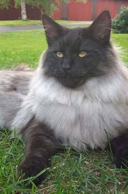 Norwegian Forest Cat Blue Black Smoke Norwegian Forest Cat Norwegian Forest Cat Tabby Cat Cats And Kittens