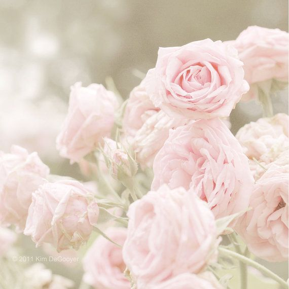 Pink Rose Photo Shabby Chic Baby Pink Roses Soft Sage Moss